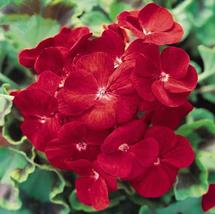 10pcs Geranium Deep Scarlet Perennial Flower Seeds Very Excellent IMA1 - $14.99