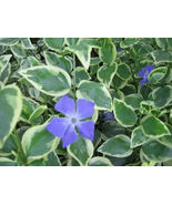 SEVEN (7) ROOTED VINCA MAJOR VARIEGATA PLANTS (PERIWINKLE)   - $7.00