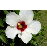25 Pcs Seeds Moscheutos Small Bush Luna White Hardy Hibiscus Flower - DL - $16.00