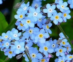 Forget Me Not 400 Seeds #CDB03 - $14.17