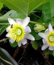 Passiflora LUNATA biflora, maracuja passion maypop fragrant seed 5 SEEDS - $16.00