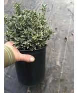 Euonymus microphyllus variegatus White Variegated Leaves Dwarf Live Plan... - $81.00