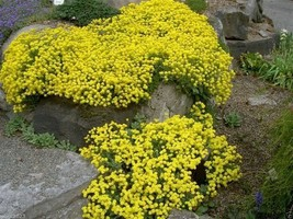 "1000 Alyssum Seeds, ""Basket-Of-Gold"" Clusters of tiny,intense yellow flowers - $9.99"