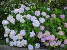Starter Plant - Hydrangea Macrophylla Otaksa - $22.88