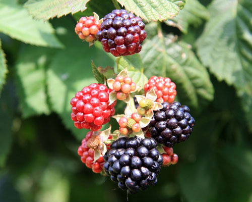 Blackberry Plant - 'Chester' thornless - Rubus fruticosa (It's not seeds) image 2
