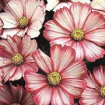 SHIP FROM US 35 Seeds Peppermint Twist Cosmos Bi-Color,DIY SB Flower Seeds - $27.99