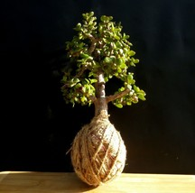 Portulacaria afra - 16 year old - Special for kokedama - $85.44