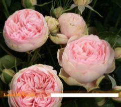 5 SEED Heirloom 'Jin ling' Pink Peony Flower Seeds A - $4.65