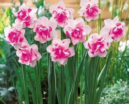 bonsai 100pcs/pack Daffodil flower (not Daffodil bulbs) Aquatic Plants - $2.79