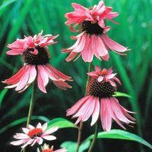 """2.5"""" pot 1 Live Potted Plant echinacea Double Decker unique double Rare ... - $32.99"""