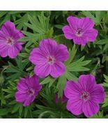 10 Bloody Cranesbill Geranium Flowers Seeds - $7.99
