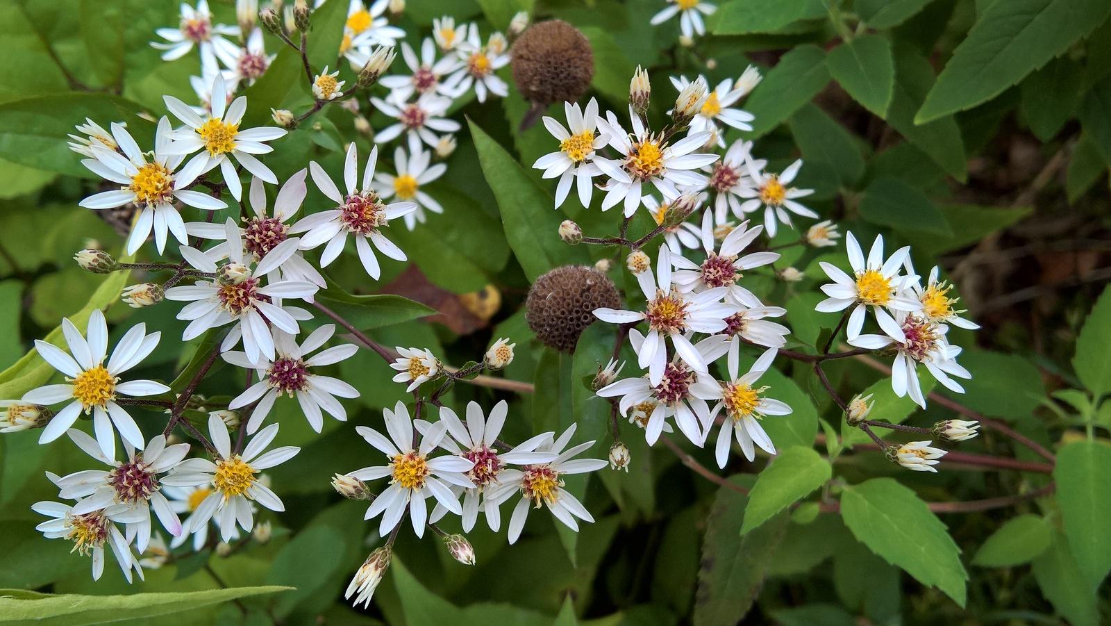 Organic Native Plant, White Wood Aster,