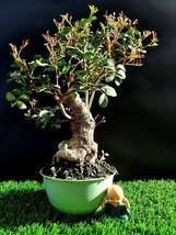 Bonsai Pistacia lentiscus tree Mastic Tree - Pistachier Lentisque 25 years old - $342.46