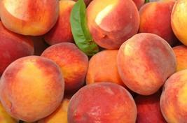 1 Plant - Belle of Georgia Peach Tree - Semi Dwarf - 1 Gallon Pot Outdoor Living - $94.00