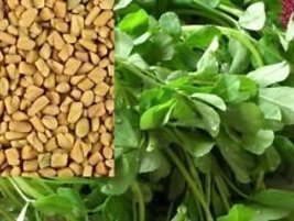 100 Fenugreek Herb Seeds Heirloom Non-gmo Heirloom Seeds - $6.92