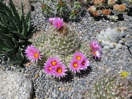 """Cactus Buttons x8 Escobaria Vivipara"""" Natural Cluster CRIMSON THORNS 8 Buttons + - $40.00"""