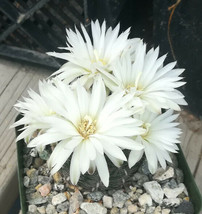 Gymnocalycium maznetteri Spider Spines Bubble Green Ribs 77 - $9.85