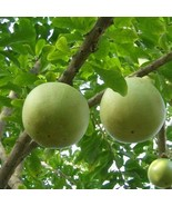 Mexican Calabash Tree Seeds (Crescentia Alata) 25+Seeds - $21.98