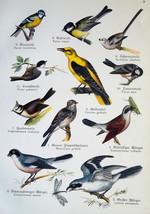 OUR BIRDS Oriole Jay Nutcracker Starling Shrike - Charming COLOR Litho P... - $11.25