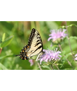 Tiger Swallowtail Butterfly 8.5 x 11 Unmatted Photograph - $15.00