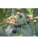 20 Phalsa | Falsa | Sherbet Berry | Grewia asiatica Fruit  Seeds - $4.99