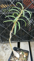 Pachypodium succulentum v. griquense Short Fat Base Caudex Plant 1 - $14.80