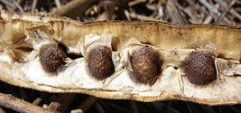 25 Seeds Moringa oleifera Drumstick Tree Seeds - $9.00