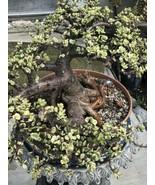 Jade Bonsai Portulaca *15 Years Old ☝ Whole Plant  - $529.65