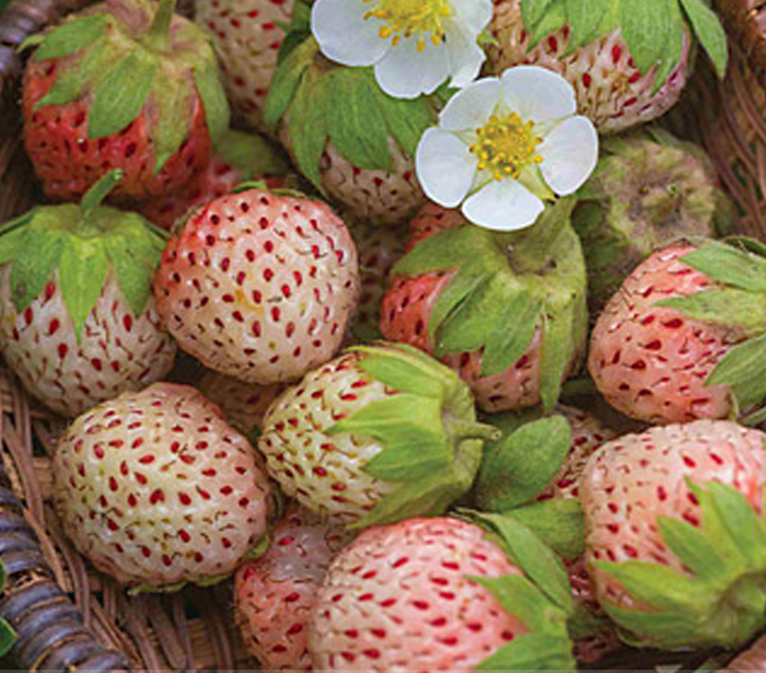 Primary image for 100 Pcs Professional Pack Light Red Pineberry with White Berries Fruit Seed TM
