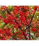 Red Sweet Olive -Osmanthus fragrans 5 seeds fragrant CombSH K41 - $15.21