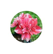 HAPPY FLOWER 2 Bulbs GADINGKASRI True Hippeastrum Rutilum Amaryllis Love... - $1.79