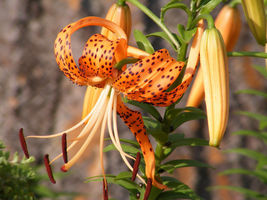 Outdoor Living – Garden - Lilium Columbianum Columbia Lily 20 Seeds - tgi - $61.95