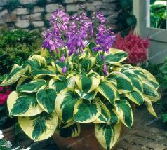 100pcs Hosta Seeds Perennials Plantain Lily Flower Home Garden Ground Cover - $4.76