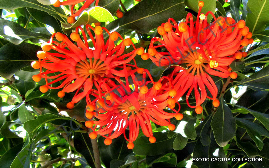 EXOTIC STENOCARPUS SINUATUS firewheel tree @@ rare flowering trees seed 5 SEEDS
