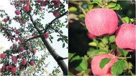 Fuji Apple Tree (2-3') - Home Gardening Outdoor Living - $77.99