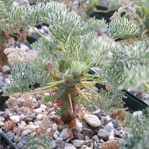 Sarcocaulon Monsonia Herrei Cactus Cacti Succulent Real Live Plant Green... - $35.56