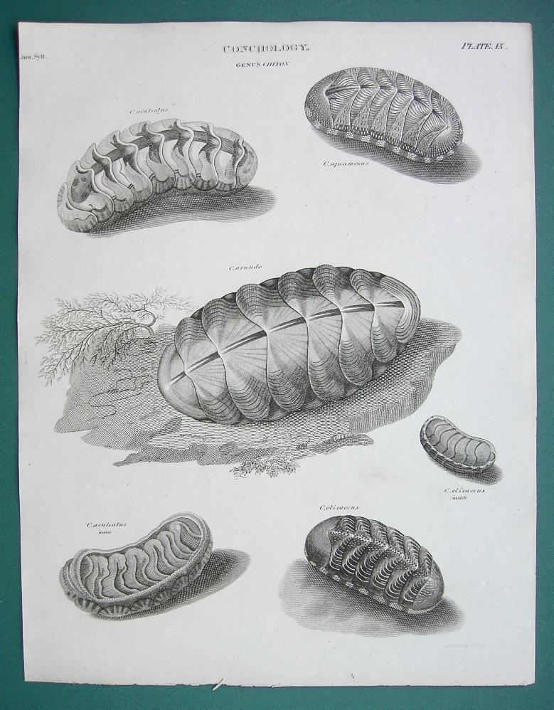 Primary image for CONCHOLOGY Sea Shells Genus Chiton - 1820 ABRAHAM REES Print