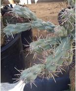 Cylindropuntia fulgida Chain Fruit Cholla Cactus 1 Section - $9.89