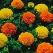 Flower - Marigold - Crackerjack Mix - Non-Hybrid - St. Clare Heirloom Seeds - $1.99