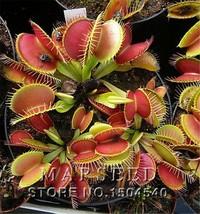 [MARSEED] 20 Potted Venus Flytrap Plant Seeds Carnivorous plant - $3.00