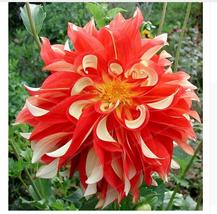 True Dahlia Bulbs Flower,Not Seed,Rare Flower,Flower For Home & Garden -... - $6.79