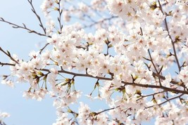 AKEBONO Flowering Cherry Tree image 1