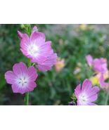 50 Seeds - Pink Checkermallow Sidalcea Hendersonii Checkerbloom #SFB15 - $17.99