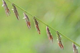 1 Oz Seeds Bouteloua Curtipendula SIDE-OATS Grama - $17.82