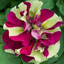 100 Double Pink Green Petunia Seeds Containers Hanging Baskets Flowers -... - $29.95