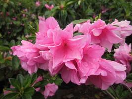 Live Plant Pink Ruffle Azalea Trade Gallon Pot - $59.99