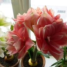 2 Bulbs Hippeastrum Bulbous-root Flower Seeds Amaryllis DIY Home Garden... - $12.55
