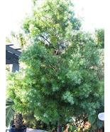 Fern Pine aka Podocarpus gracilior Live Plant Fit 5 Gallon Pot - $37.51