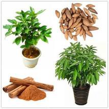 ceylon Cinnamon Seeds, Cinnamomum Zeylanicum Verum  Ceylon True Cinnamon Seeds f - $8.09