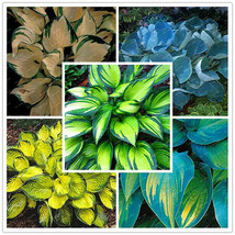 200Seeds/bag Hosta plants,Hosta 'Whirl Wind' in full shade,mixed color f... - $4.37